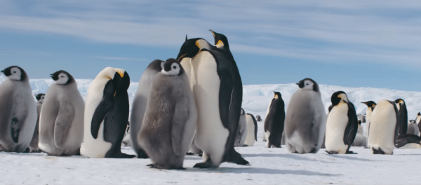 March-of-the-Penguins-2-trailer-screenshota-1-600x264
