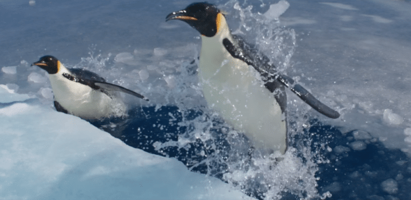 March-of-the-Penguins-2-trailer-screenshota-2-600x292